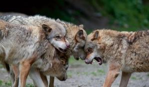 loup meute