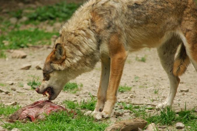 """BOREON (06): ALPHA """" Le temps du loup"""""""