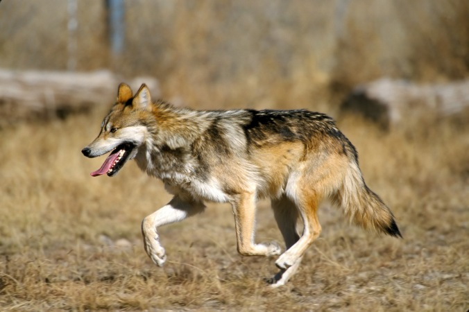 Mexican_Wolf